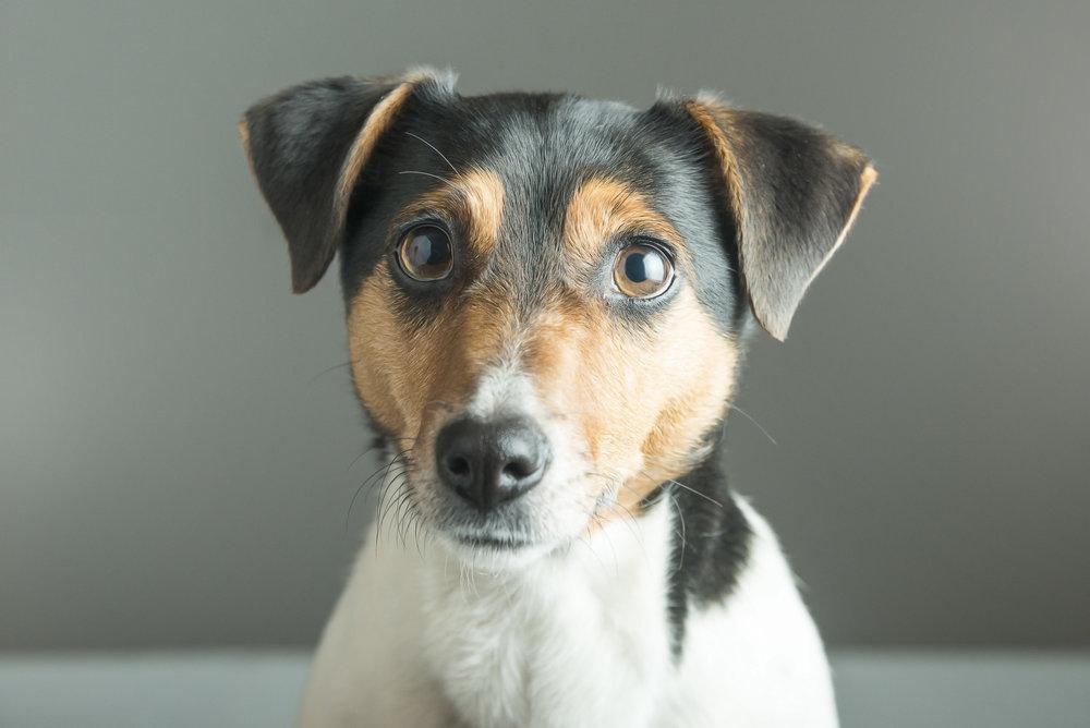 LupinBay-Dog-Jack-Russell-0132-3289.jpg