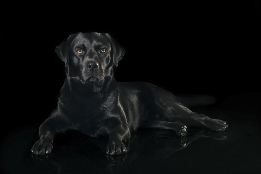 LupinBay-Black-Labrador-Retriever-Dog-Photography-0154-4904.jpg