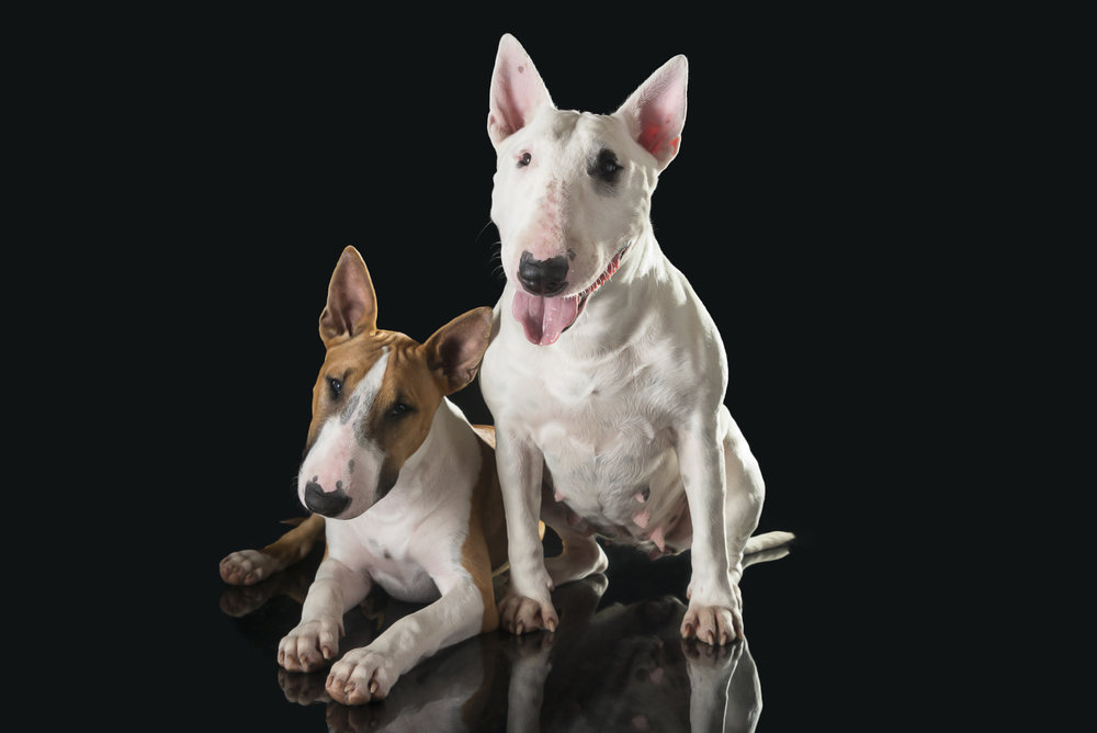 LupinBay-English-Bull-Terrier-Dog-Puppy-0165-5917.jpg