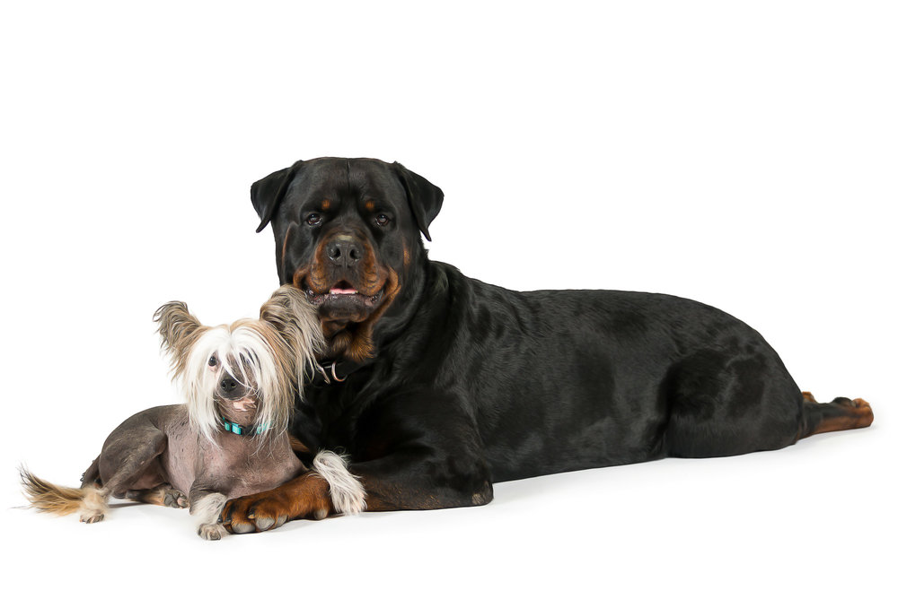 LupinBay_Dogs_Chinese_Crested_Rottweiler-SK4480.jpg
