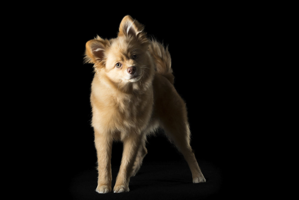 LupinBay-0128-German-Spitz-Dog-Photography-2784.jpg
