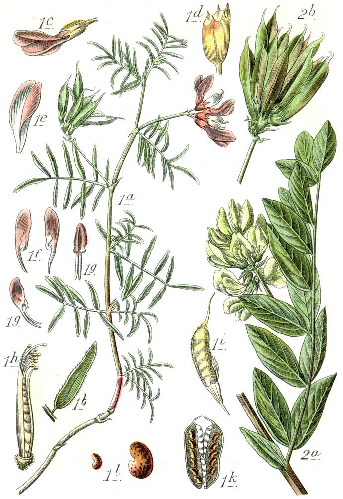Die Wunderpflanze aus der Mongolei. Sie stärkt das Immunsystem und kräftigt den Körper gegen Stress.