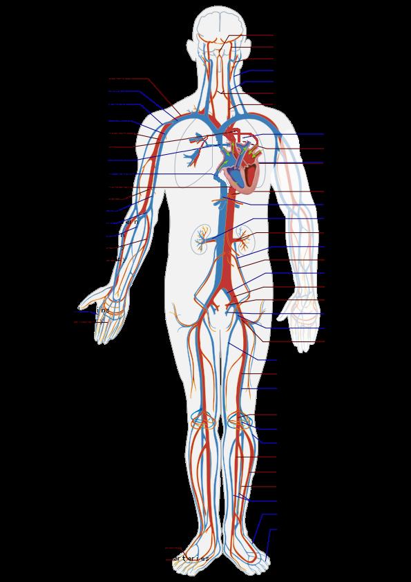 Das Herz hat die Kraft den ganzen Körper zu beeinflussen.