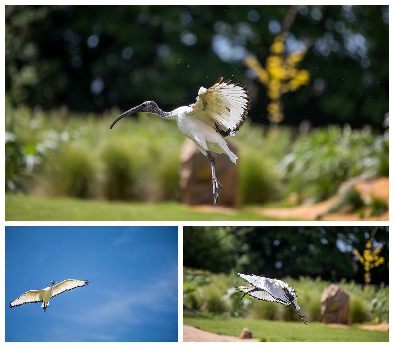 Ibis By Karl Redshaw