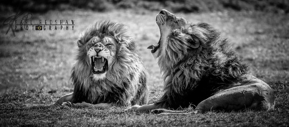 Pair Male Lion