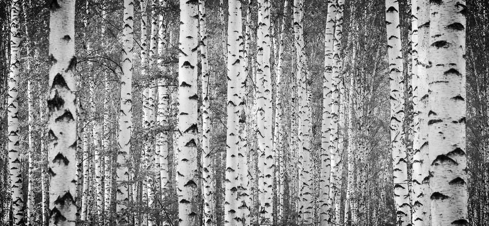 Wallpaper-Birch-Trees.jpg