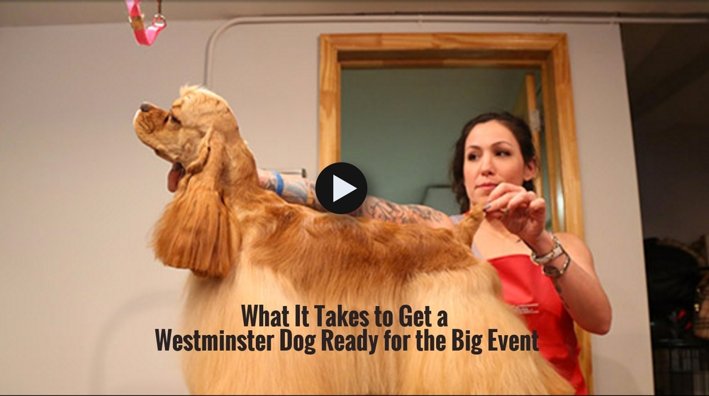 What It Takes to Get a Westminster Dog Ready for the Big Event