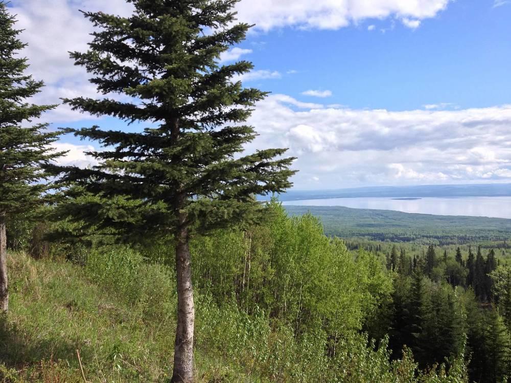 Slave Lake Trees.JPG
