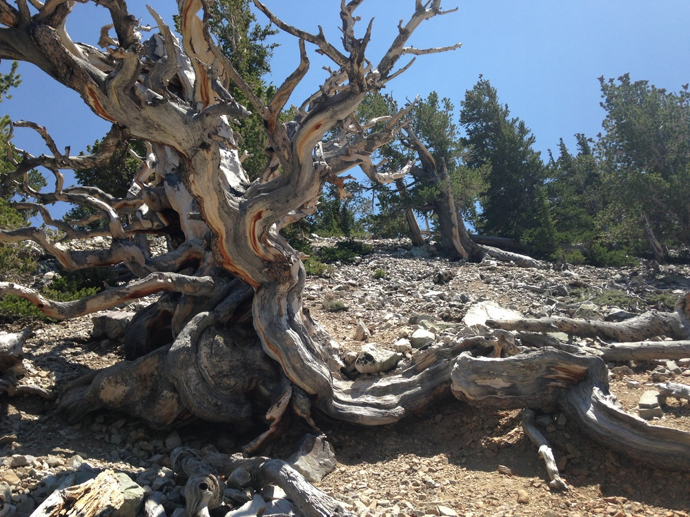 The oldest living organism on Mother Earth, the Bristle Cone Pine