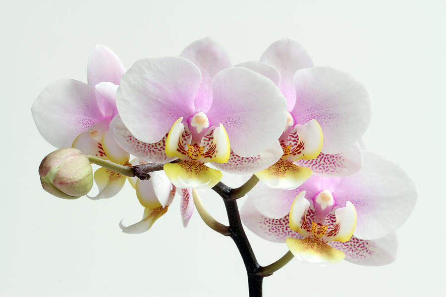 blushing-orchids-juergen-roth.jpg