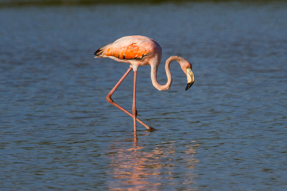 This is not Conchy. This is a flamingo that showed up on Grassy Key in 2016. Like flamingos have been showing up in South Florida for decades. Photo by  Mark Hedden .