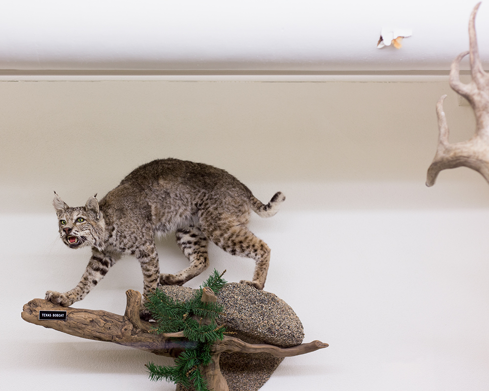 Texas Bobcat; Mount Angel Abbey Museum, Saint Benedict, OR
