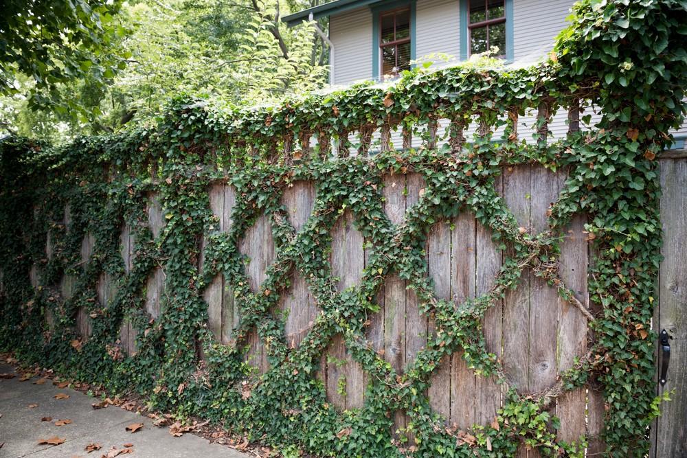 Eastport-Annapolis-Vine-Fence