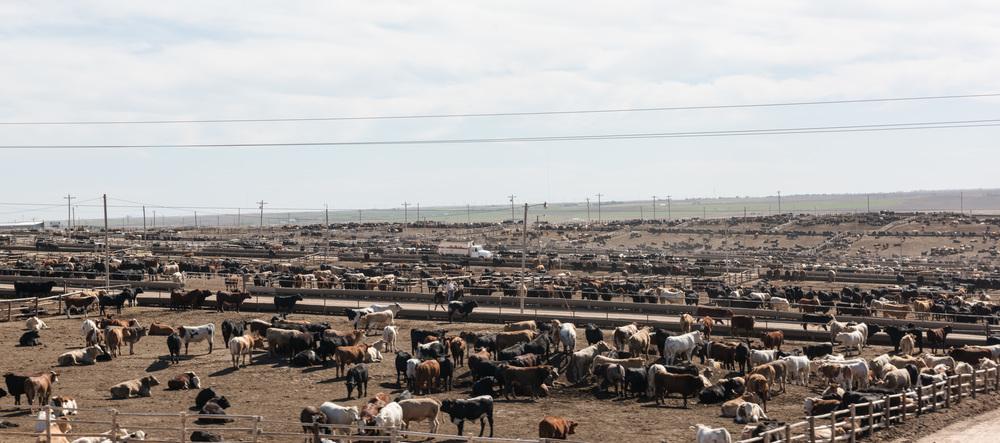 kansas-cows-1