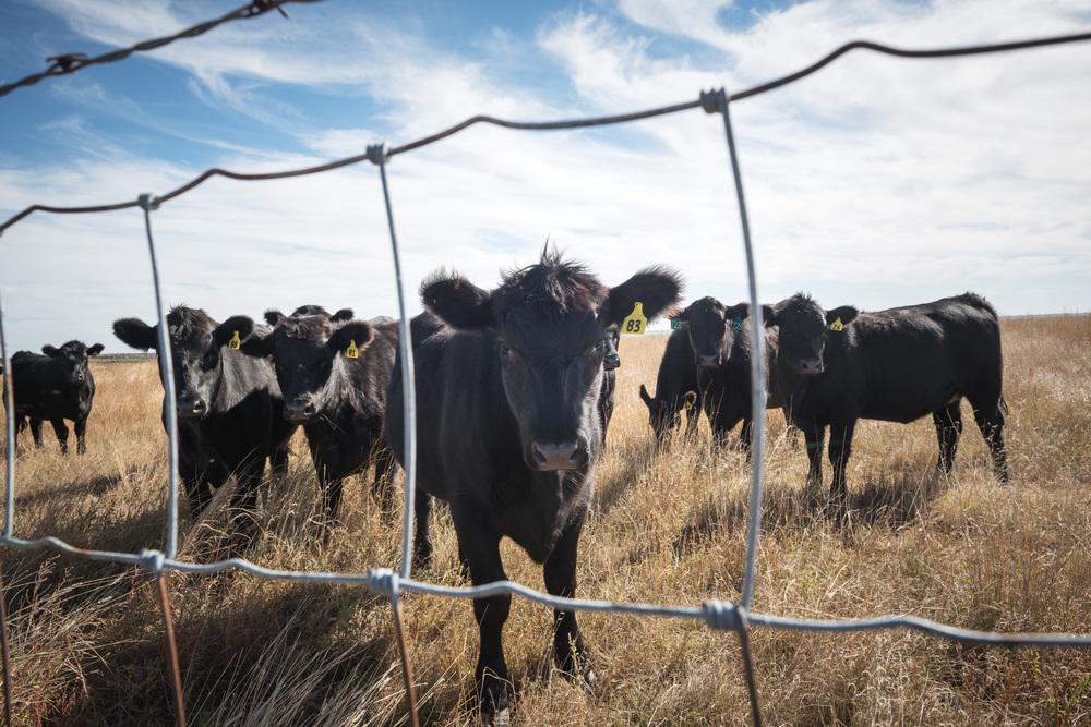 kansas-cows-2