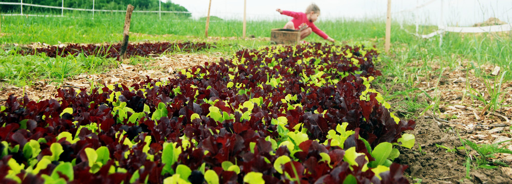 Spring salad mix being harvested on the Farm.