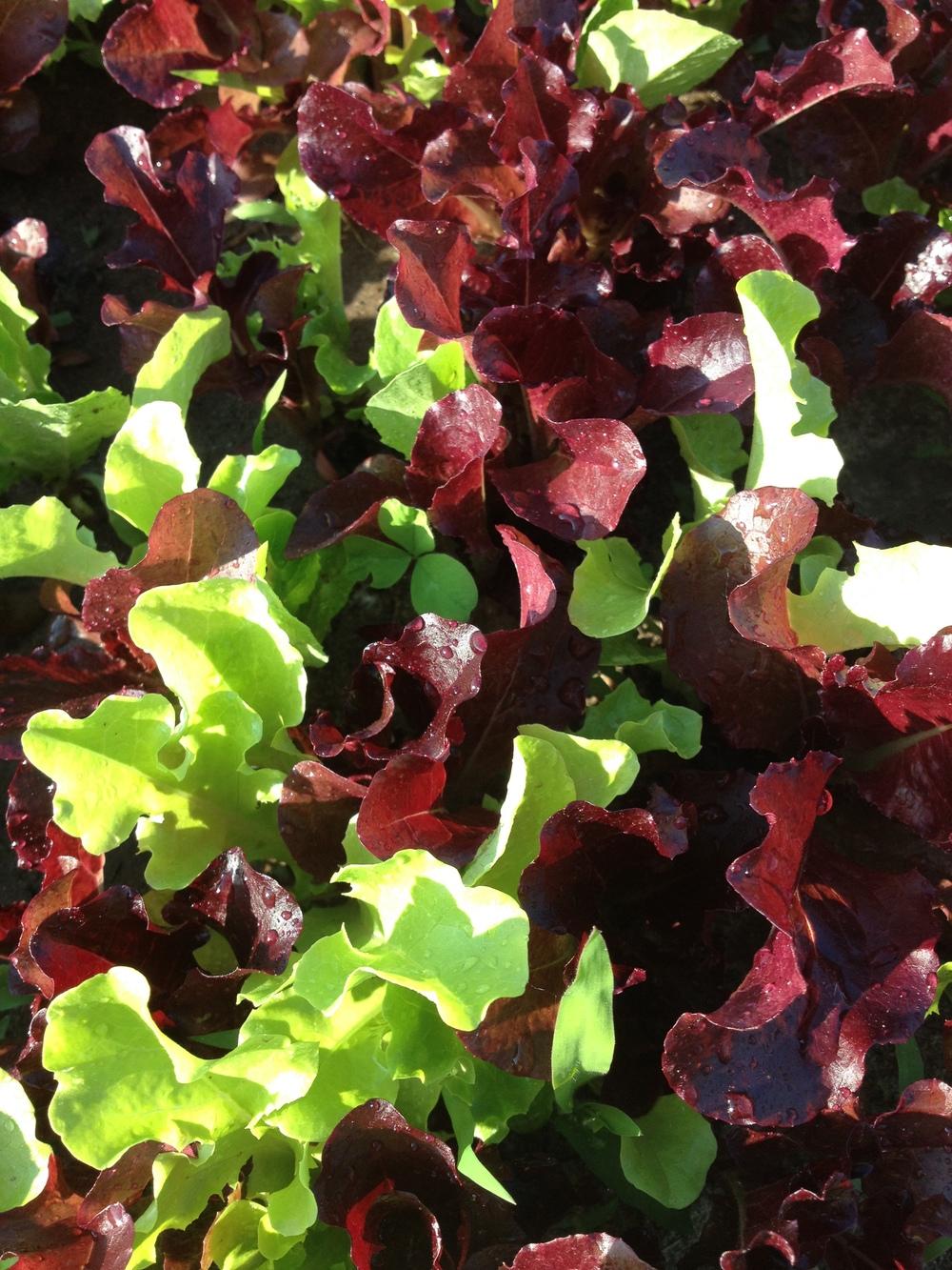 Lettuce Mix!
