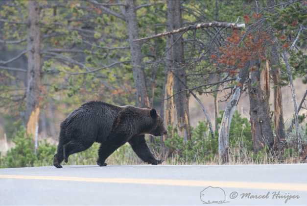 Grizzly crossing road, Wyoming, USA photo copyright Marcel Huijser