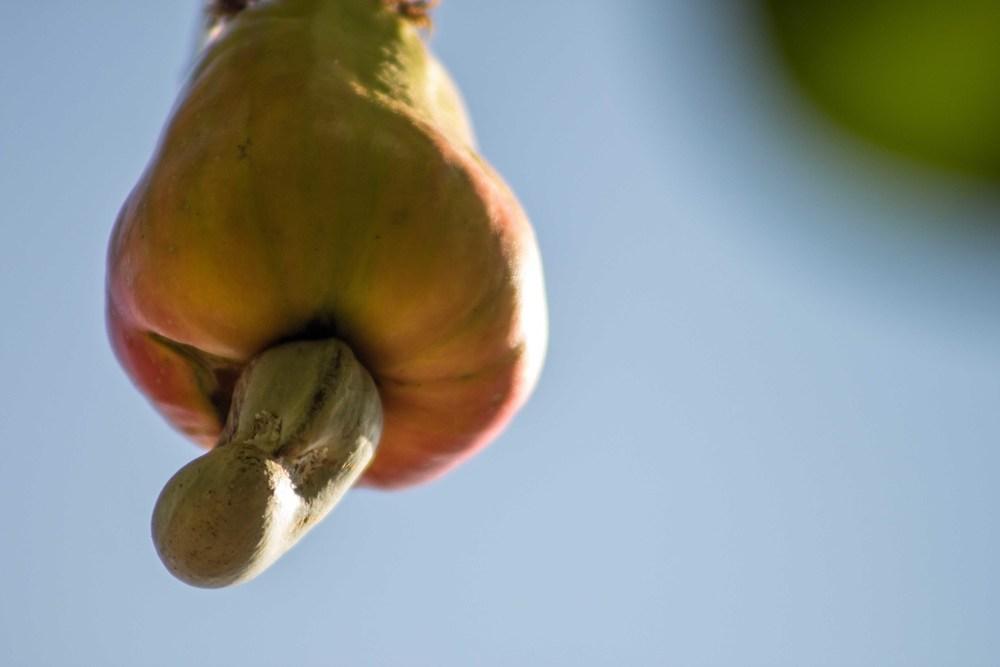 Mogovolas district, Nampula   province – A cashew nut and apple almost ready for harvest |  Caju e castanha em processo de amadurecimento, quase pronto para a colheita