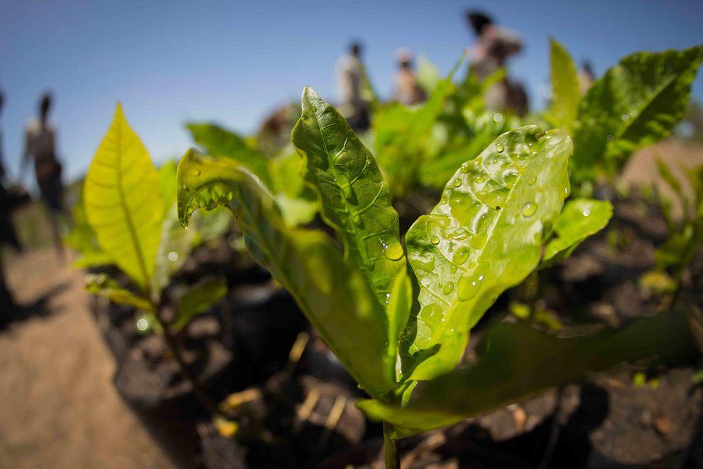 Mogovolas district, Nampula   province  – Young cashew seedlings in a nursery established by MozaCajú |  Mudas de um cajueiro num viveiro estabelecido pela MozaCajú