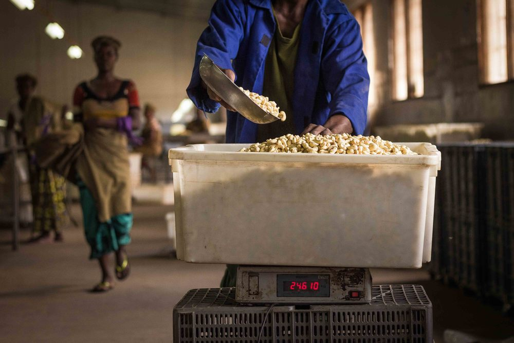 Anchilo district, Nampula province  – A worker at the Condor Nuts factory weighs his peeled cashew nuts for the day |  Um trabalhador na fábrica da Condor Nuts pesa suas castanhas de caju descascadas do dia