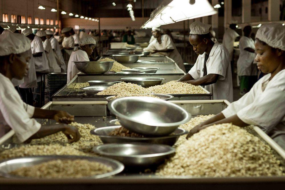Anchilo district, Nampula province  – Workers in the selection section of the Condor Nuts factory sort cashew nuts by quality and size |  Trabalhadores na secção de selecção da fábrica da Condor Nuts seleccionam a castanha de caju por qualidade e por tamanho