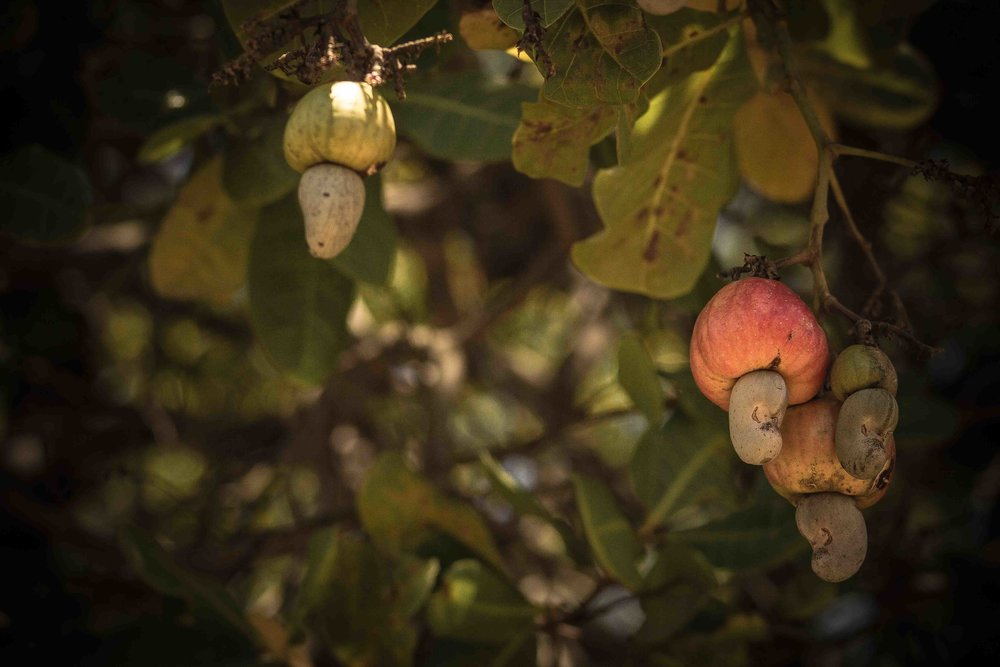 Mogovolas district, Nampula   province  – The cashew harvest season in Mozambique begins around October and lasts through December, when trees are laden with both cashew fruit and nuts |  A colheita de castanha de caju em Moçambique começa em outubro e dura até dezembro, quando os cajueiros estão cheio de caju