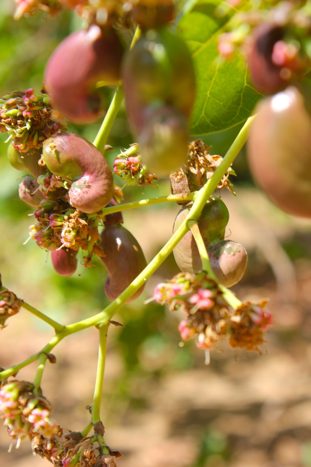 Nangade district, Cabo Delgado province  - Cashew nuts and apples emerge from the small pink flowers that grow at the tip of the branches |  As castanhas de caju emergem das pequenas flores cor de rosa que crescem na ponta dos ramos