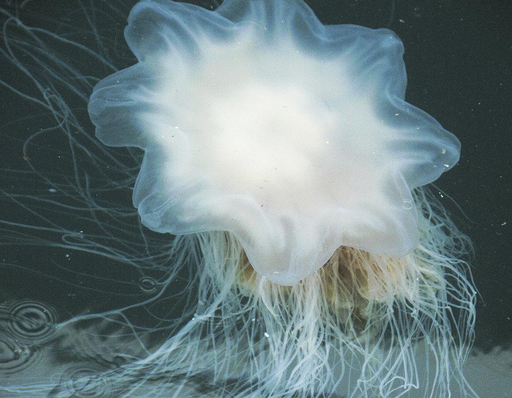 Lion Mane Jellyfish 2