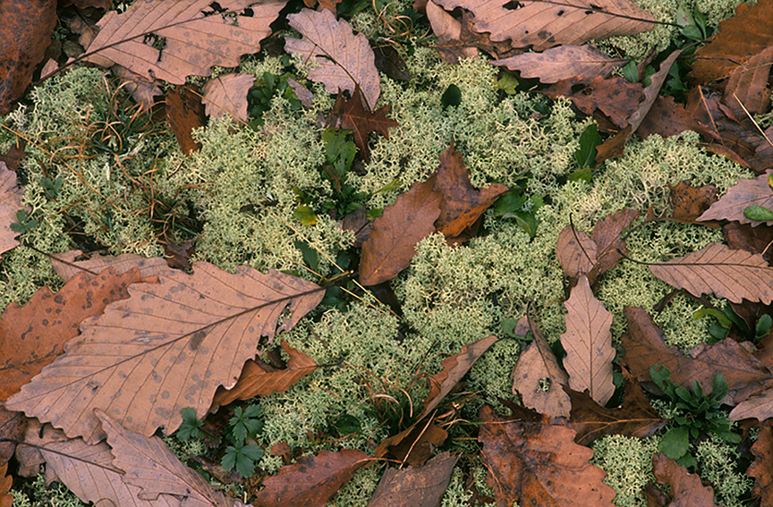 I like looking for interesting patterns made by fallen leaves.  There was something about these dead oak leaves laying on the moss that grabbed my attention; Fall is not only about vibrant colors!