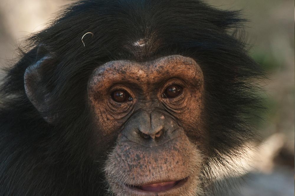 chimp4.jpg