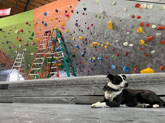 Our newest gym doggo Sadie making sure the new routes this week are up to snuff. The right wave will be ready to go tonight! Make sure to put down any projects you've got on the slab, it's next!