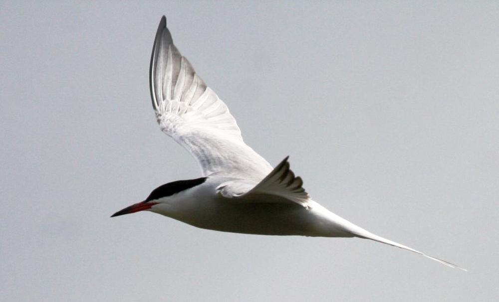 Common Tern taken at Elmley on Saturday