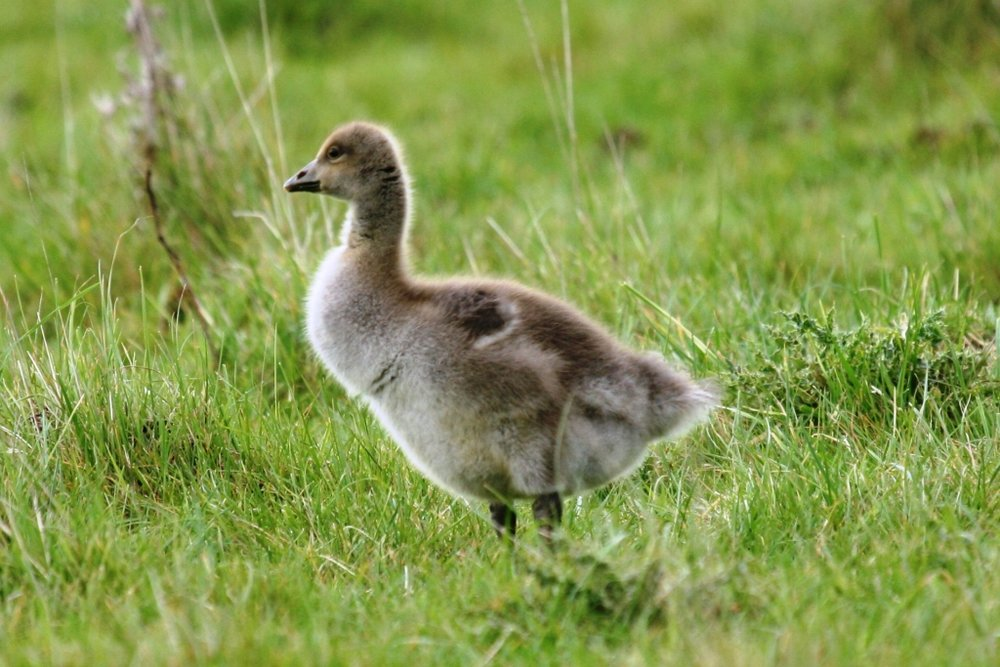 There were lots of ducklings and goslings about most prettier than this chap a young Grey Lag Goose.