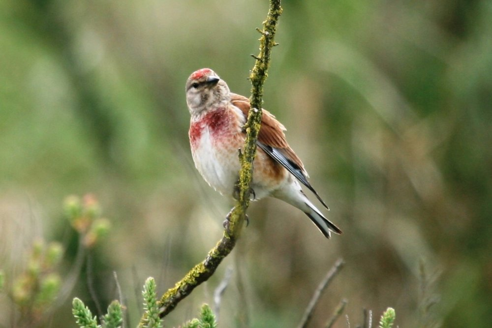 Another nicely coloured bird the Linnet was at one time kept as caged birds for their song.