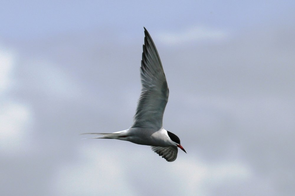 A Common Tern hunting at RSPB Titchwell Marsh, we also saw Little Terns and the reserve claims to have Sandwich Terns (but not seen by us)