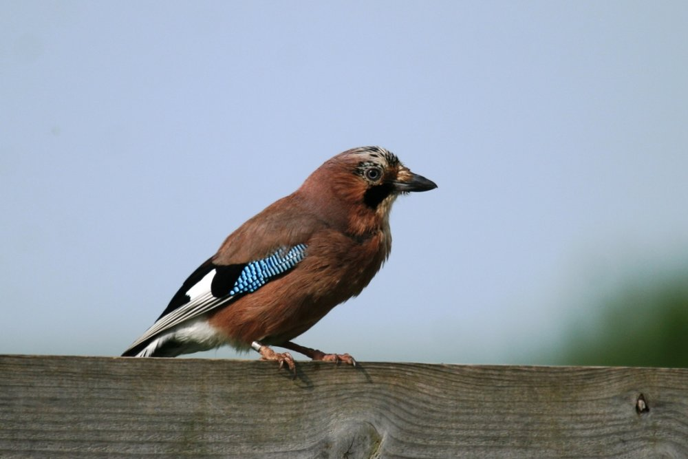 Probably one we all know the Jay is the prettiest of our Corvids (Crows)