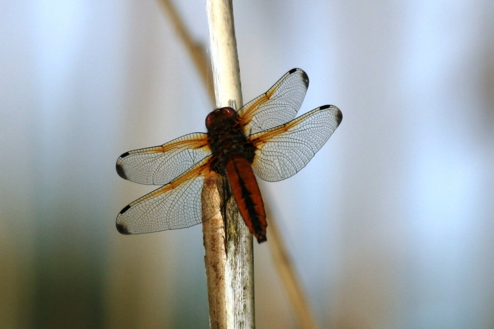 There are 52 different species of Dragonfly and Damselfly shown on the British Dragonfly Society website, this Dragonfly is a Scarce Chaser.