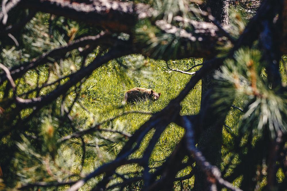 wild bear Yosemite