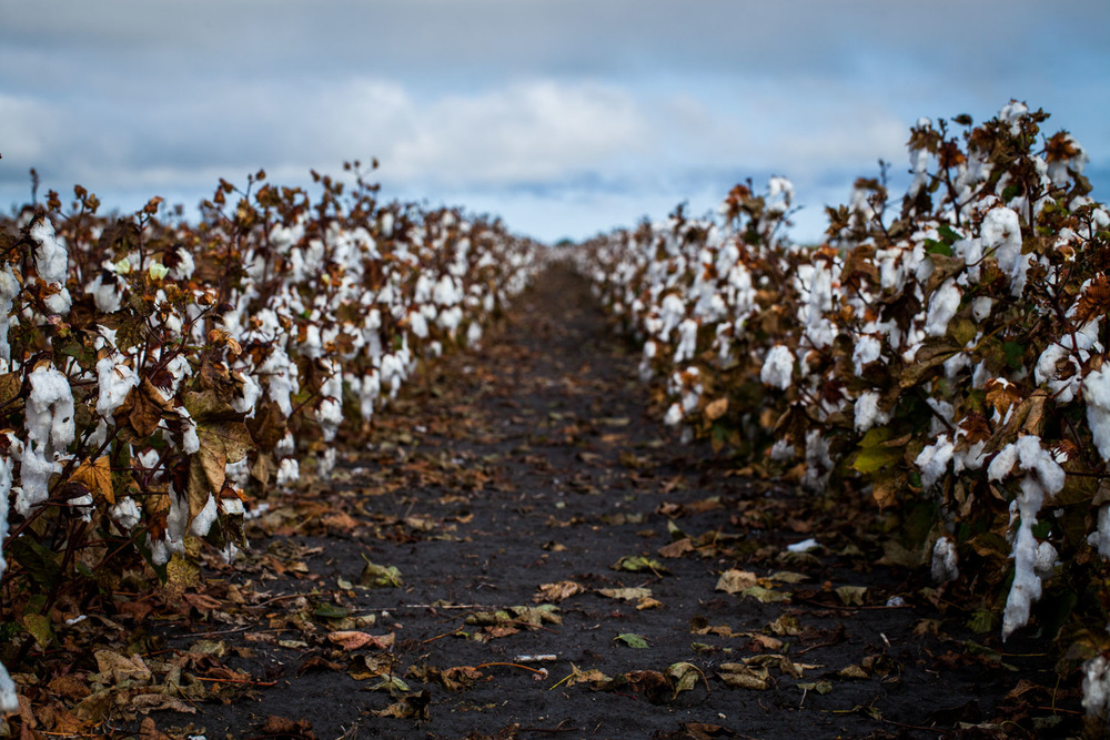 Cotton fields in Texas. I learned that the plants are sprayed with chemicals so the leaves fall off, and then the cotton is picked.