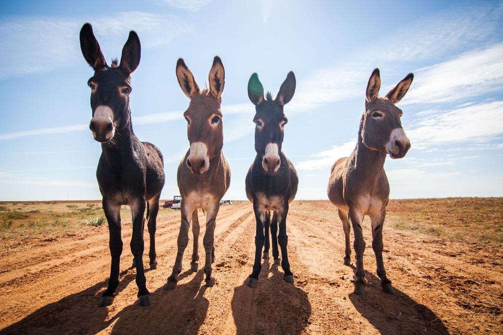 Jack-assed donkeys in the Texas panhandle.