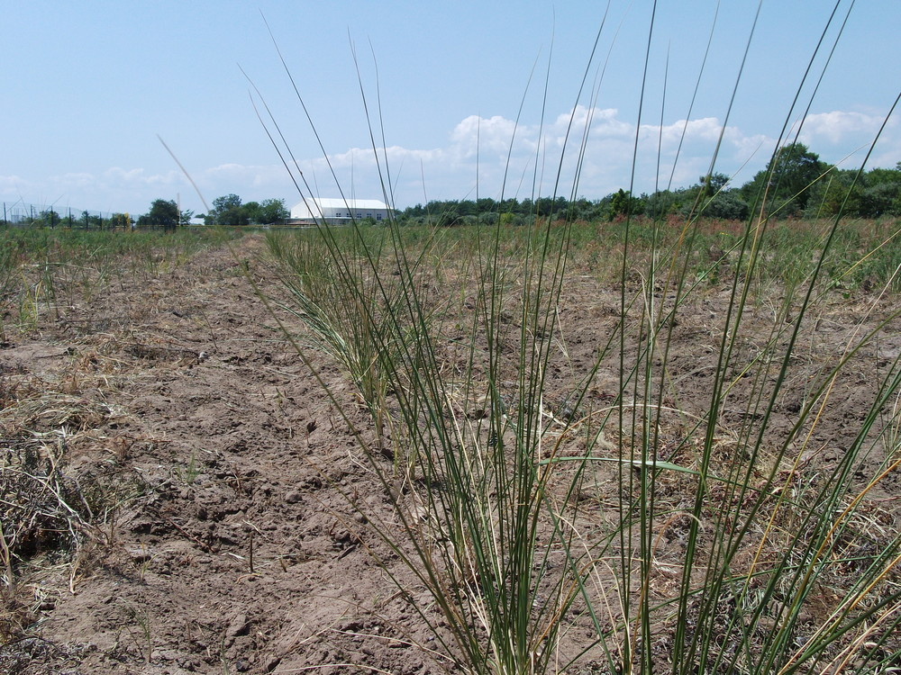 Beach grass over the summer that will be harvested when it is dormant in the fall and winter.