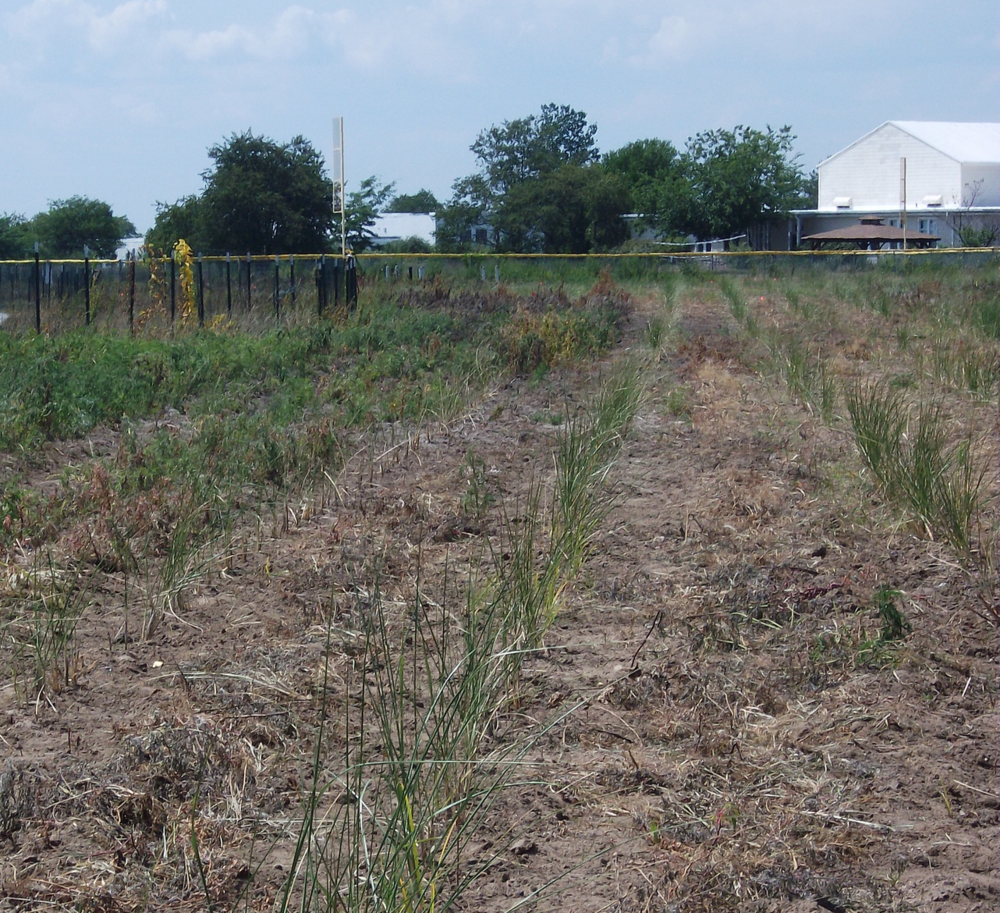Rows of beach grass that were planted at the Floyd Bennett Field nursery.
