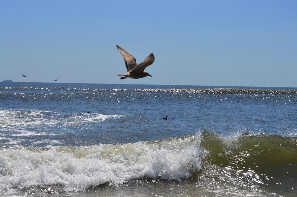 Fort Tilden Beach Bird 8-2014.JPG