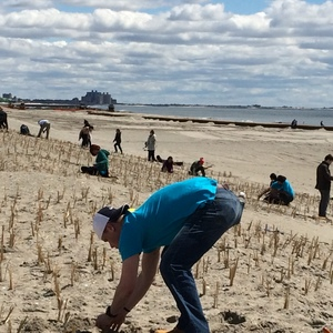 Beach grass is planted in rows on the Rockaway dunes to stabilize the sand and make the coast more resilient.