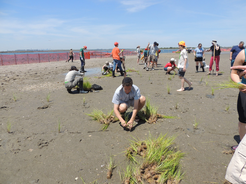 Planting beach grass plugs in Rockaway provides shoreline protection to coastal communities.