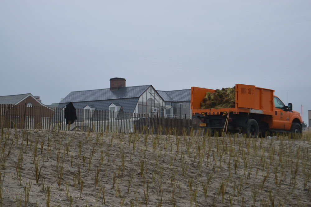 Twenty-thousand culms of beach grass will provide additional coastal protection to the Rockaway peninsula.