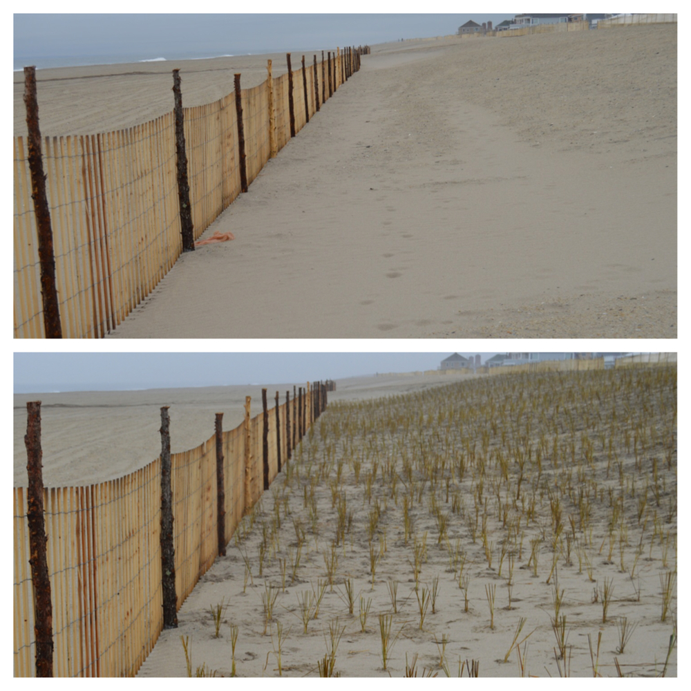 A before and after photograph of the Rockaway dunes after a hard day's work of planting beach grass.