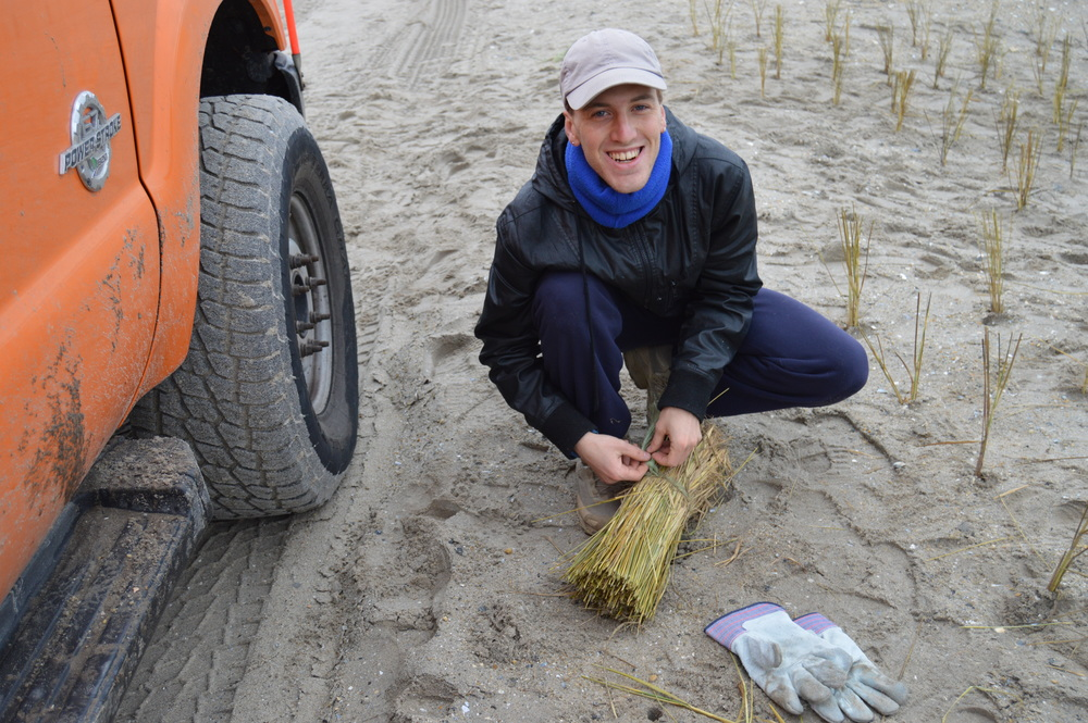 A volunteer prepares to plant a bundle of beach grass culms on the dunes in Rockaway.