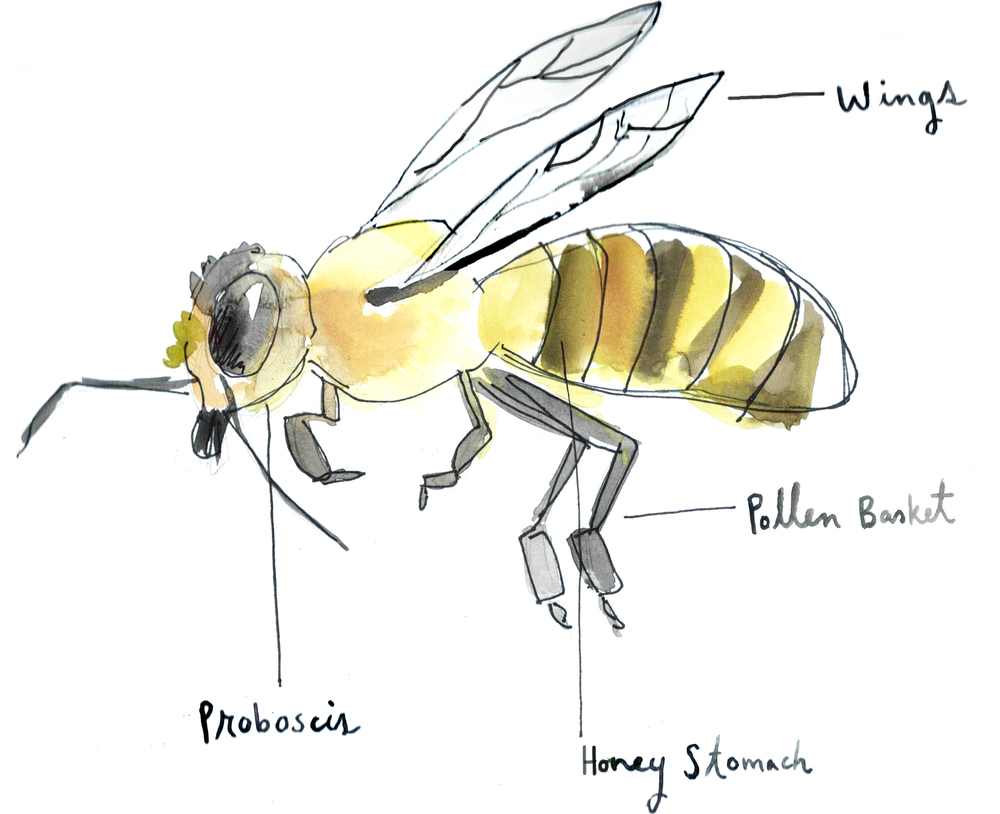 Bee Anatomy Tootie Dotes